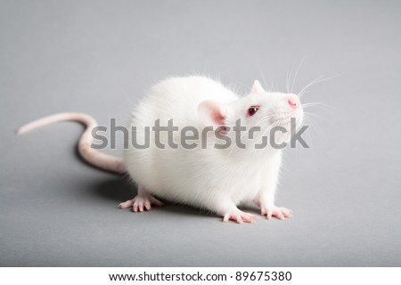 white laboratory rat isolated on grey background - stock photo