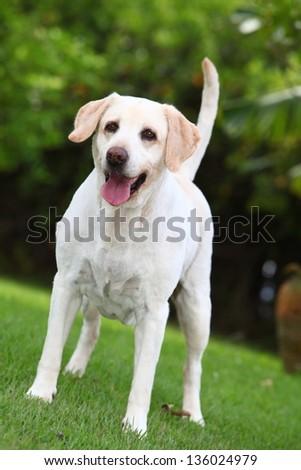 White labrador Dog - stock photo