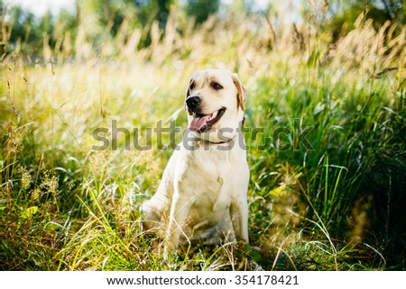 White Labrador Retriever Dog Sitting In Grass, Forest Park Background. - stock photo