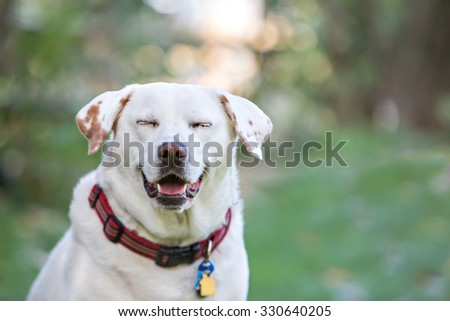 White labrador smiling outside - stock photo