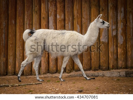 white lama in the zoo - stock photo