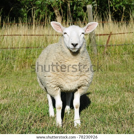 White Lamb - stock photo