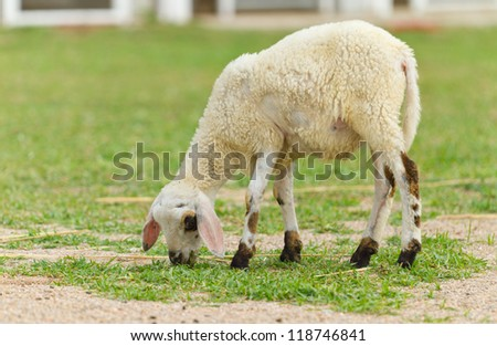 white lamb eating grass at yard - stock photo