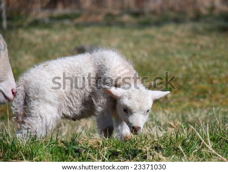 White lamb exploring the spring grass with his mother