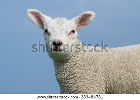 White lamb facing the camera. Clear blue sky in the background  - stock photo