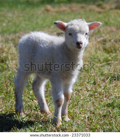 White lamb standing on grass posing to the camera