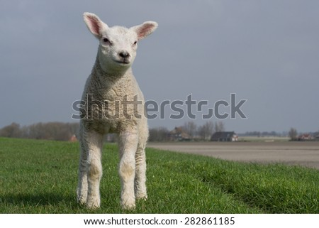 White lamb standing on green dike against a clear blue sky. Some trees and barns in the background  - stock photo