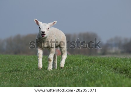 White lamb standing on green dike against a clear blue sky. Some trees in the background  - stock photo