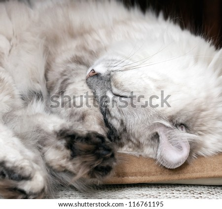 White lazy cat drowsing on the chair - stock photo