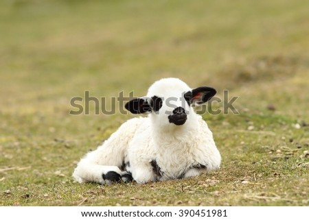 white lazy lamb laying on green meadow in spring - stock photo