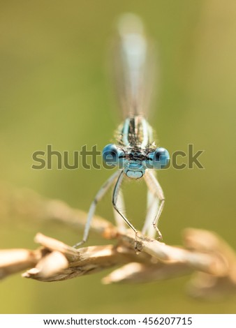 White-legged Damselfly - Platycnemis pennipes