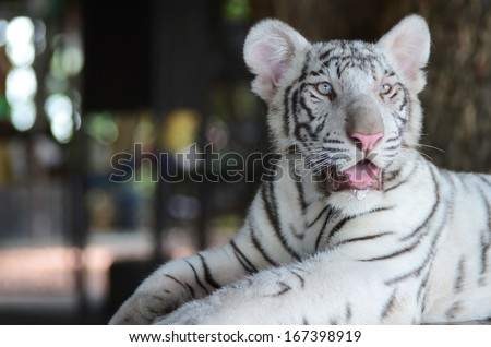 white leopard - stock photo