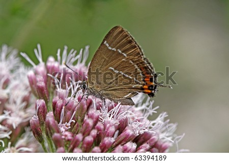 White-letter hairstreak butterfly (Satyrium w-album) on a Hemp-agrimony flower in Italy, Europe - stock photo