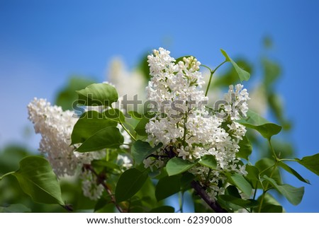White lilac branch in spring against blue sky - stock photo