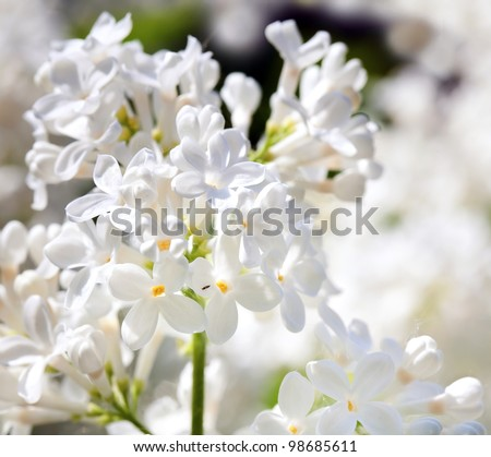 White lilac bushes in the garden - stock photo