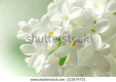 White lilac flowers  background / white lilacs macro / spring flower / syringe vulgaris - stock photo