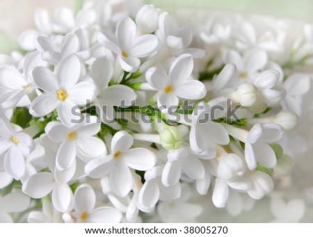 White lilac flowers closeup - stock photo