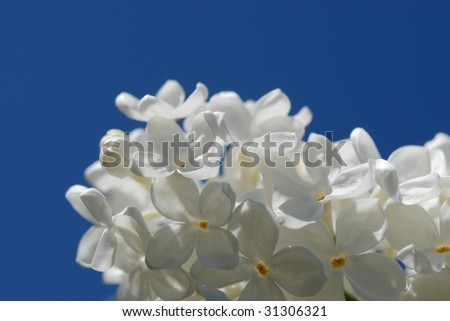 white lilac flowers in a blue sky