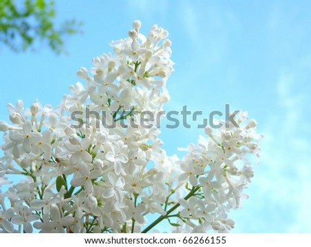 White lilac on a background of beautiful blue sky - stock photo