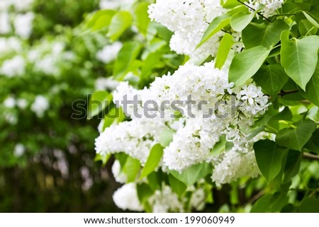 White lilac spring flowers blossoming close up - stock photo