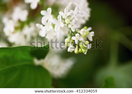 White lilac, Syringa vulgaris, branch with a rich inflorescence and tiny flowers, with leaves, closeup with blurry background - stock photo