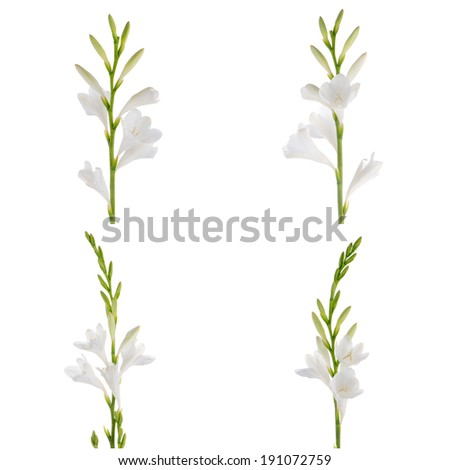 White lilies, bunch on a white background. zephyranthes candida - stock photo