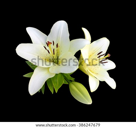 White lilies isolated on a black background - stock photo