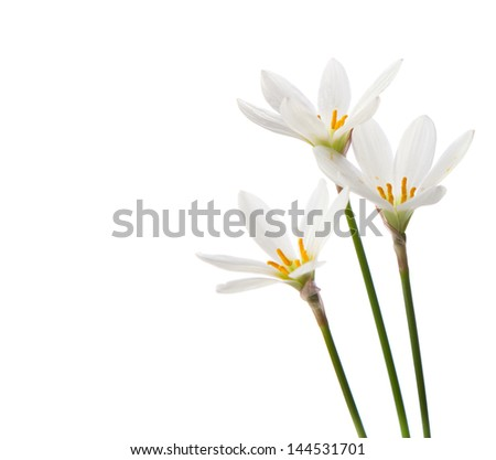 white lilies on a white background. zephyranthes candida - stock photo