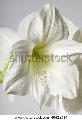 white lilly - stock photo