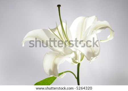 white lilly 2