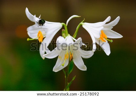 White lilly and the beetle - stock photo