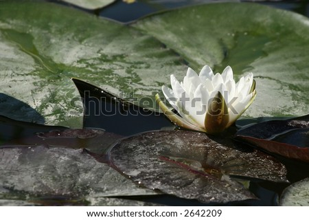 White Lilly flower floating in a pond with lilly pads