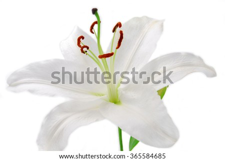 white Lilly flower isolated on white - stock photo