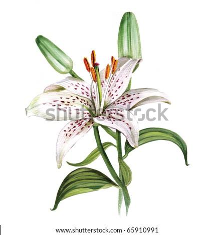 white lily - stock photo
