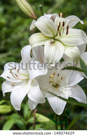 white lily close-up - stock photo