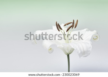 White lily close-up macro shot in a studio on pastel background desaturated - stock photo