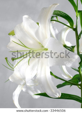 white lily covered with water drops - stock photo