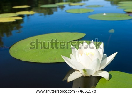 white lily floating on a water - stock photo