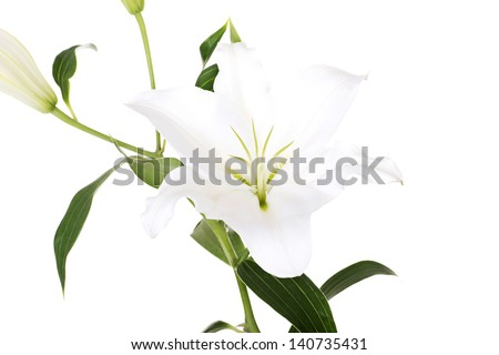 White lily flower isolated on white.