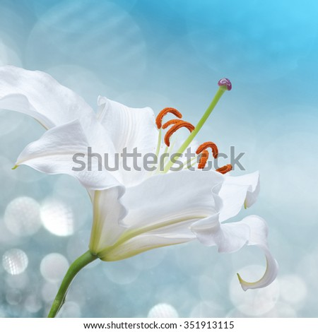 white lily flower on a blue bokeh background