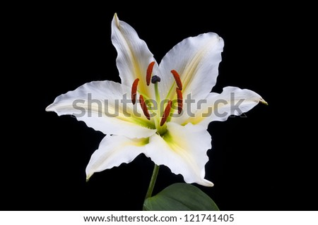 White lily flower separated on black background - stock photo