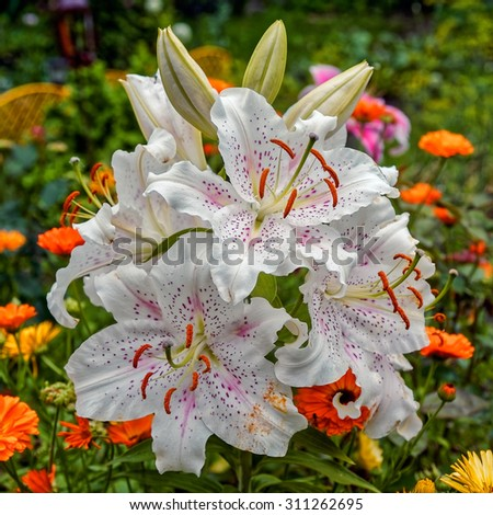 White lily flower with pink dots in a garden on blurred background - stock photo