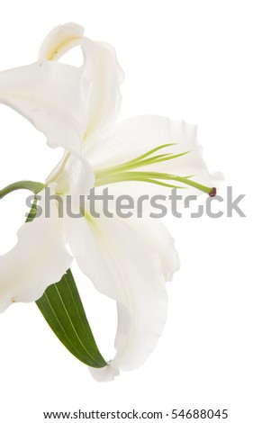 white lily high key close up on white background