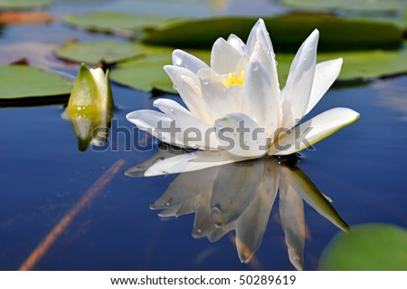 White lily in water on the lake - stock photo