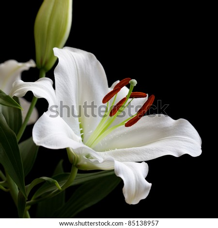 white lily isolated on black background - stock photo