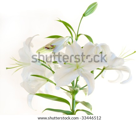 White lily isolated on white