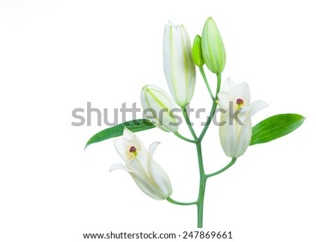 White lily. Isolated on white background - stock photo