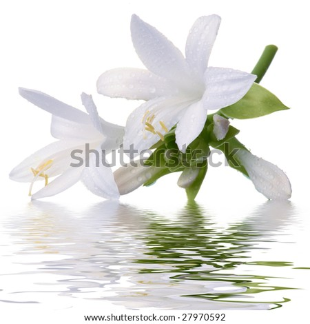White lily isolated on white background - stock photo