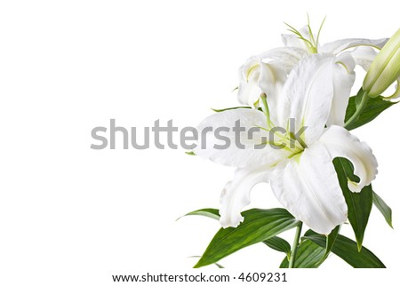 White lily isolated on white [with clipping path] - stock photo