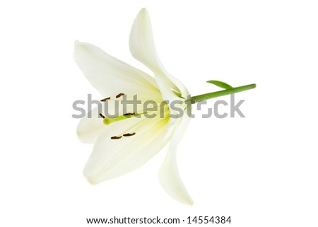 White lily on a white background.
